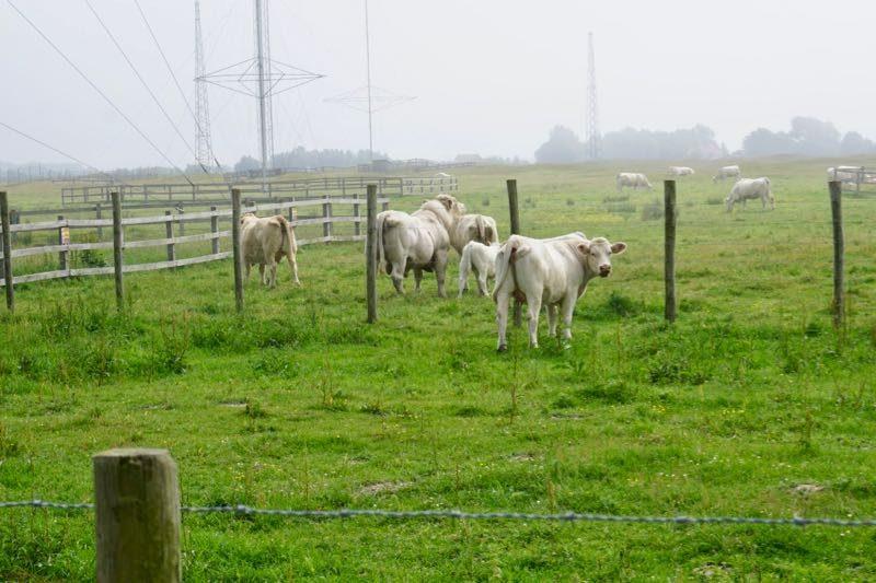 De hobbelweide van de Westduinen wordt begraasd door een koppel witte koeien