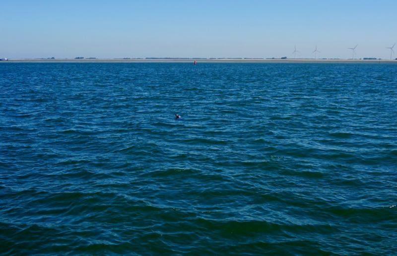 De speldenknop in de Oosterschelde is in werkelijkheid een zeehond