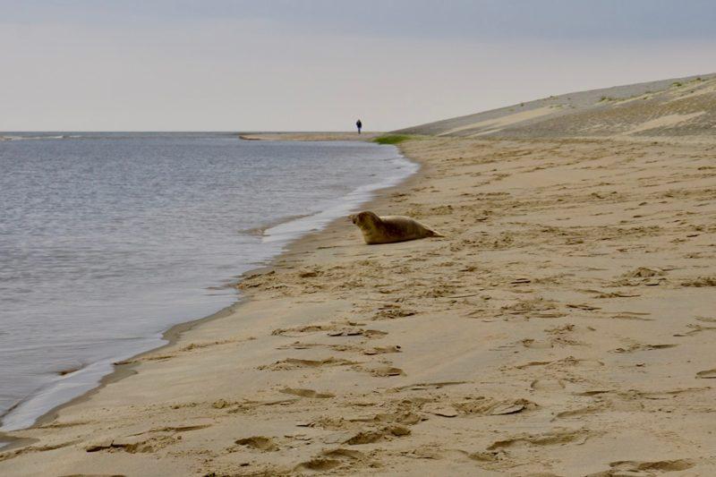 Zeehond op het strand bij Katwijk
